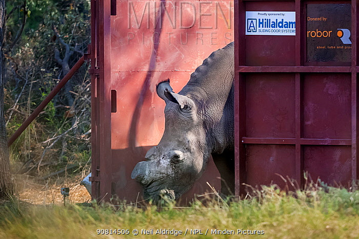 White rhinoceros (Ceratotherium simum) leaves a secure enclosure known as a boma in the Okavango Delta, northern Botswana, after being translocated from South Africa as part of efforts to rebuild Botswana's lost rhino populations.