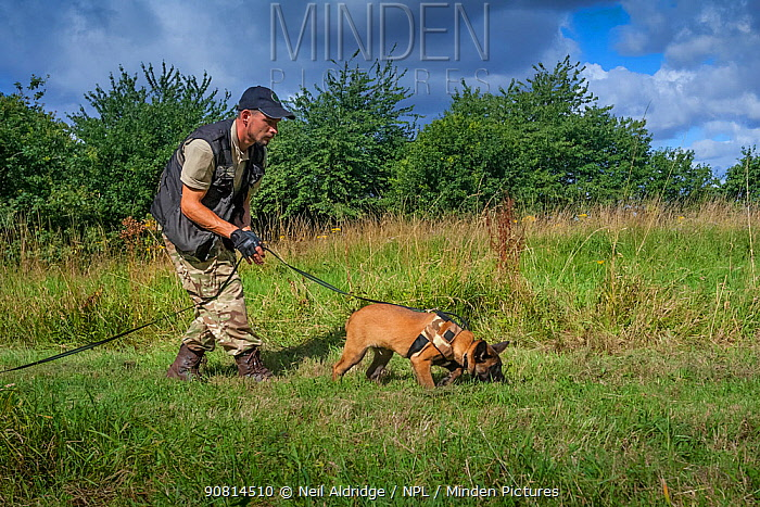 A young Belgian Shepherd anti-poaching dog training at an Animals Saving Animals training facility in England before being deployed to Africa to protect endangered species. August 2017.