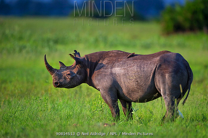 Black rhinoceros (Diceros bicornis) stands on the open plains, Okavango Delta, Botswana. This rhino was released in the Okavango Delta as part of efforts to rebuild the rhino populations that Botswana lost to poaching and hunting by the early 1990s.