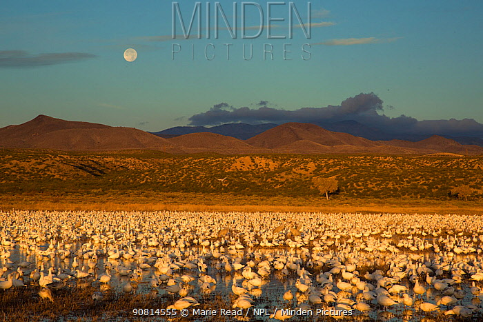 Snow Geese (Chen caerulescens) large flock in pool at Bosque Del Apache National Wildlife Refuge with setting full moon at sunrise in December, New Mexico, USA. December.
