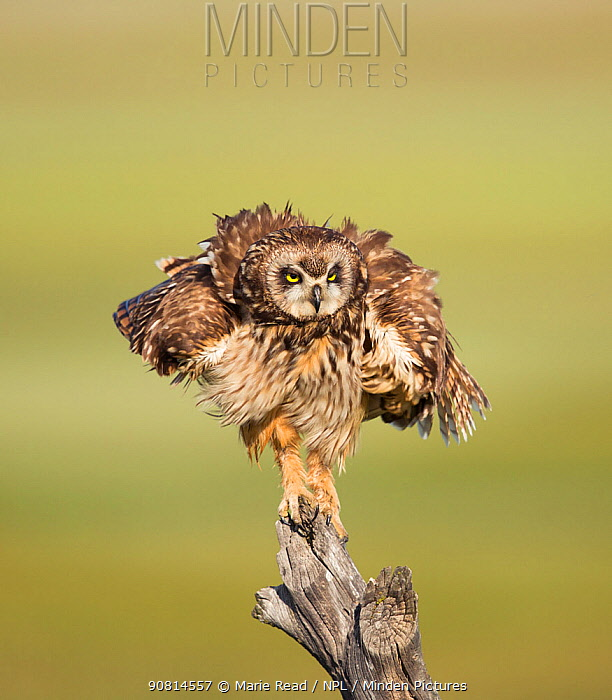 Short-eared Owl (Asio flammeus) shaking after preening while perched on fencepost, Boxelder County, Utah, USA, May.