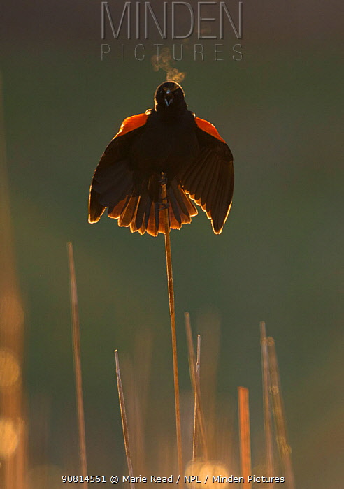 Red-winged blackbird (Agelaius phoeniceus) male calling and displaying, backlit, showing steamy breath on a chilly spring morning, Ithaca, New York, USA, April.