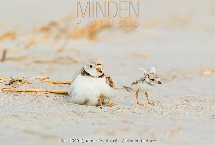 Piping Plover (Charadrius melodus) adult brooding chicks, one chick stretching its wings after being brooded, northern Massachusetts, USA. June. Endangered species.