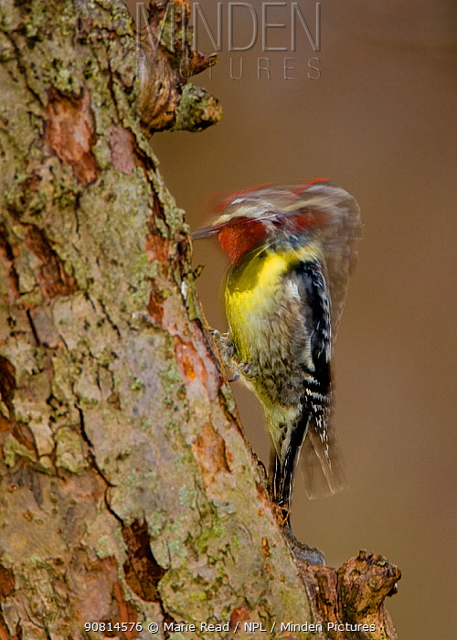 Yellow-bellied Sapsucker (Sphyrapicus varius), male drumming, long exposure, New York, USA, April.