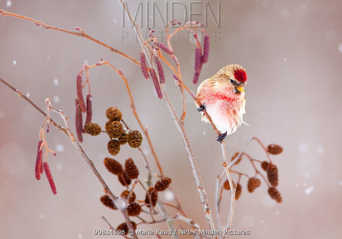 Common redpoll (Carduelis flammea), male perched in alder (Alnus rugosa) during a snowstorm in winter, New York, USA, January.