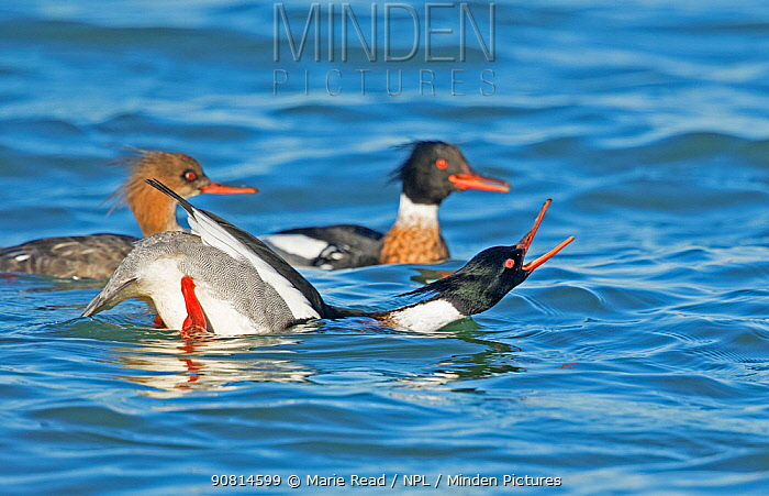 Red-breasted Mergansers (Mergus serrator) male in foreground performing courtship display to female in background (left), Aurora, New York, USA, April.