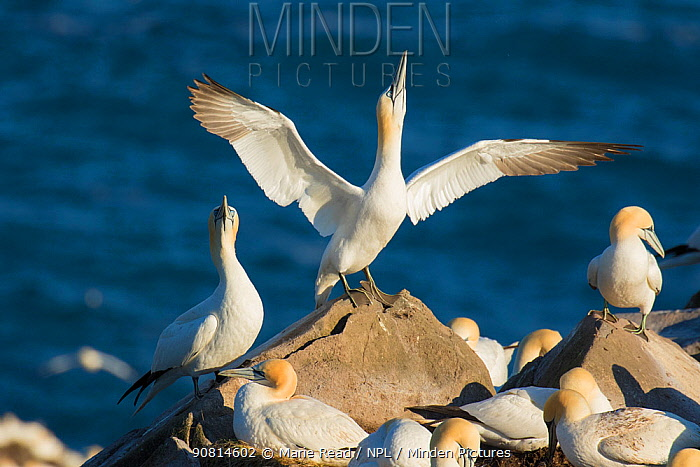Northern gannets (Morus bassanus) performing sky-pointing display with outspread wings as part of courtship, Cape St. Mary's Ecological Reserve, Newfoundland, Canada. June.