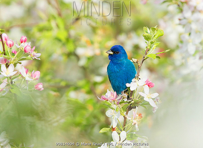 Indigo Bunting (Passerina cyanea) male in breeding plumage perched in Crabapple (Malus sp.) blossom in spring, Ithaca, New York, USA , May.