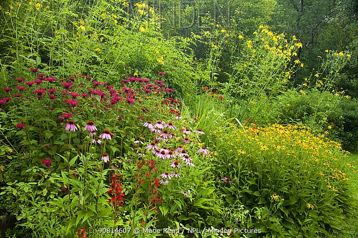 Bird-friendly garden in full bloom in summer, New York, USA, including purple coneflowers (Echinacea purpurea) and green-headed coneflowers (Rudbeckia laciniata), black-eyed susans (Rudbeckia sp.), bee balm (Monarda didyma), cardinal flowers (Lobelia cardinalis) all of which are native food plants for birds and pollinators. New York, USA, August.
