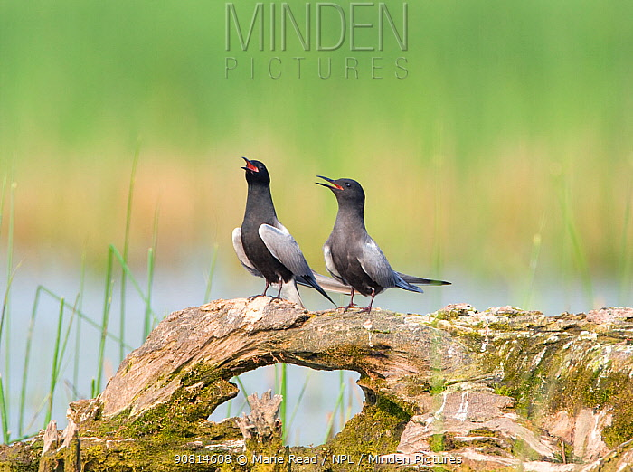 Black terns (Chlidonias niger), pair on a perch, vocalizing during courtship (termed 'Erect Posture' display), Montezuma National Wildlife Refuge, New York, USA, May.