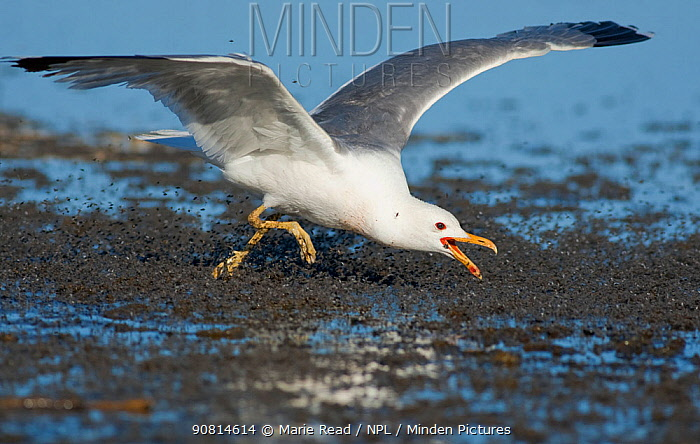 California Gull (Larus californicus), foraging for alkali flies (Ephydra hians) by running through swarm snapping its bill, on the shore at Mono Lake, California, USA. Digital frame expansion.