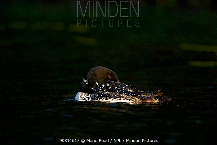 Common loon (Gavia immer) adult in breeding plumage, preening in the last light of day, Michigan, USA, June.