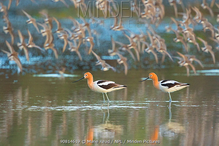 American avocets (Recurvirostra americana) pair in breeding plumage standing in water in foreground while flock of (Western) Sandpipers (Calidris sp.) flies past in the background, Irvine, California, USA, April.
