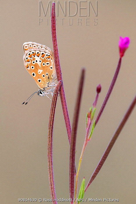 Common blue butterfly (Polyommatus icarus) resting on willowherb, Vealand Farm, Devon, UK. July