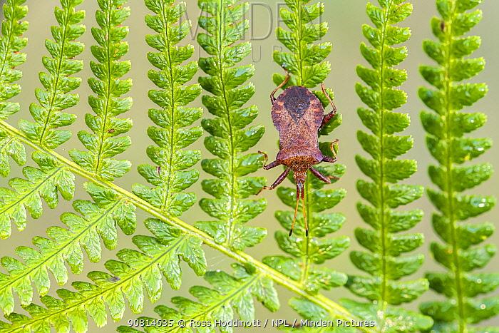 Dock Bug (Coreus marginatus) on bracken, Broxwater, Cornwall, UK. August.