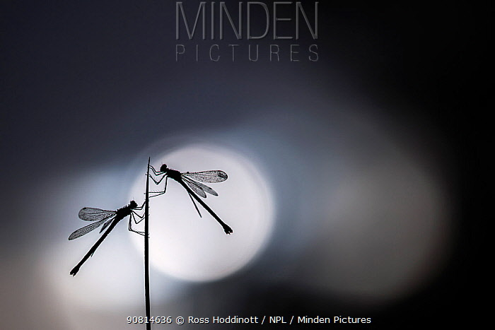 Silhouetted emerald damselflies (Lestes sponsa) resting on a reed, Devon, England, UK. August 2017.