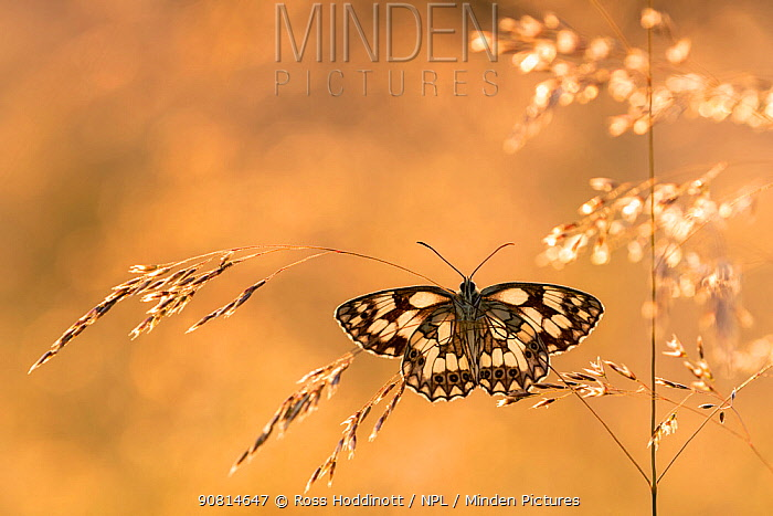 Marbled white butterfly (Melanargia galathea) resting among tall grasses and bathed in warm, early morning sunlight, Volehouse Moor, Devon, UK. July.