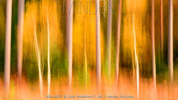 Silver birch (Betula pendula) and conifers creatively blurred using ICM (Intentional Camera Motion). Bolderwood, The New Forest, Hampshire, UK. November.