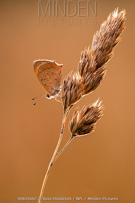 Small copper (Lycaena phlaeas) butterfly resting on a grass, Broxwater, Cornwall, UK. July.
