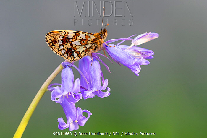 Small pearl-bordered fritillary (Boloria selene) butterfly resring on English bluebell, Marsland mouth, North Devon, UK. May.