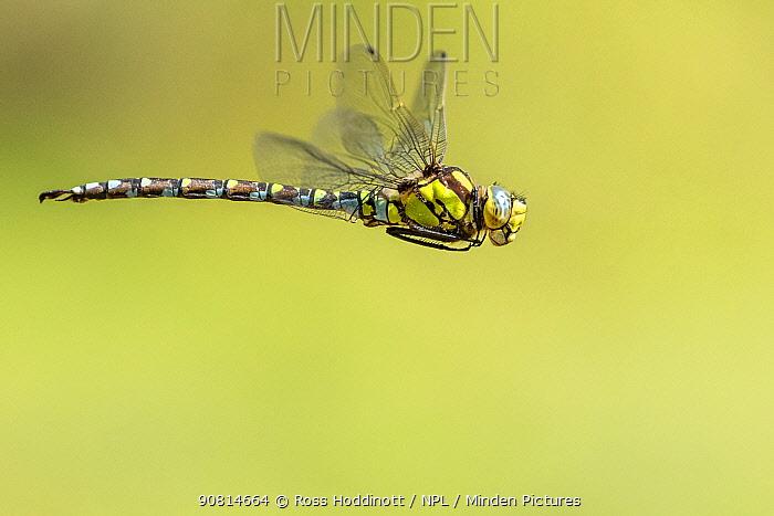 Southern hawker (Aeshna cyanea) dragonfly in flight, Broxwater, Cornwall, UK. July.