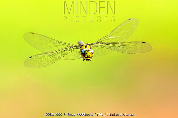 Southern hawker (Aeshna cyanea) dragonfly in flight, Broxwater, Cornwall, UK. August.