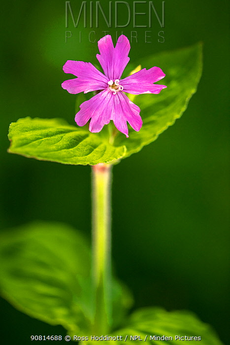 Red Campion (Silene dioica), backlit, spring, Broxewater, Cornwall, UK. May.