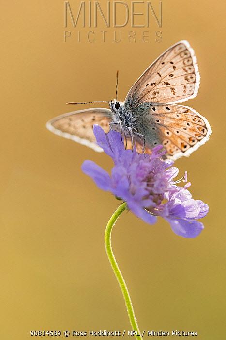 Chalkhill blue butterfly (Polyommatus coridon) Hatch Hill, Somerset, UK. August.