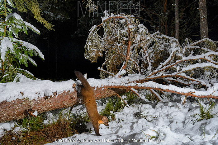 Pine marten (Martes martes) climbing onto snow covered fallen tree, Black Isle, Scotland, UK. February. Photographed by camera trap.