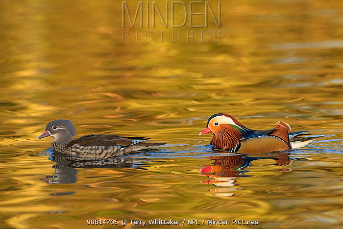 Mandarin duck (Aix galericulata) male female pair, Reddish Vale Country Park, Greater Manchester, UK. December