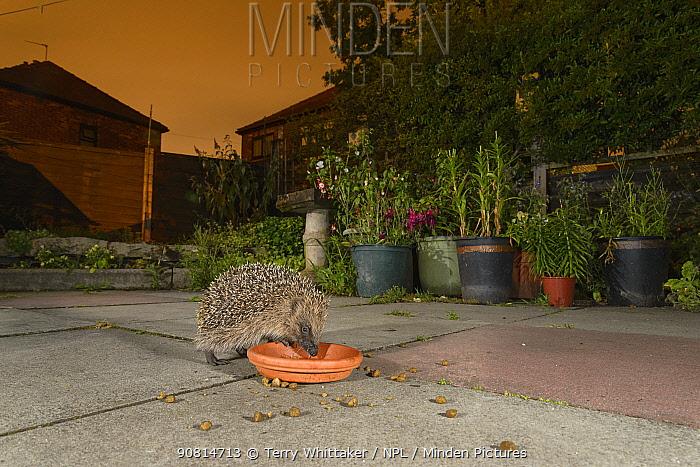 European hedgehog (Erinaceus europaeus) feeding from bowl in urban garden, Manchester, UK. July