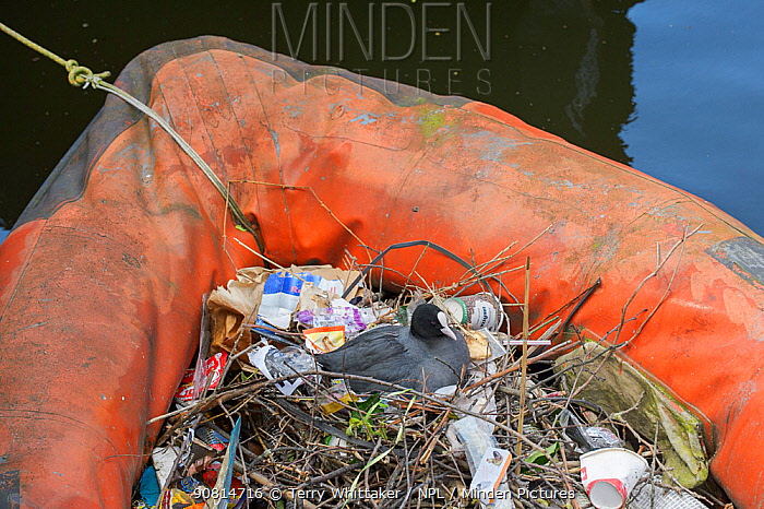 Coot (Fulica atra) nesting in old inflatable boat on canal. Amsterdam. Netherlands, April.