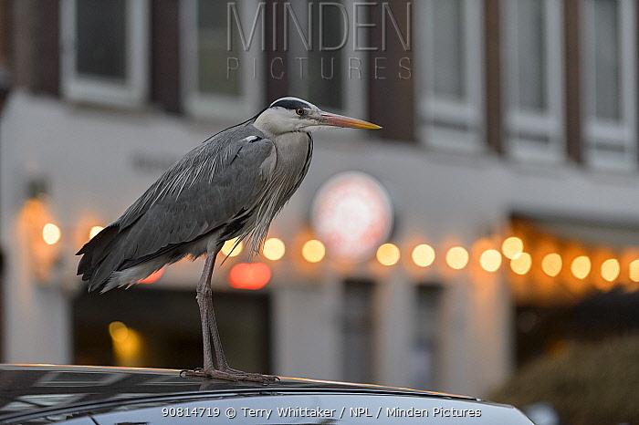 Grey Heron ( Ardea cinerea) profile in urban environment, Amsterdam, Netherlands. April 2017