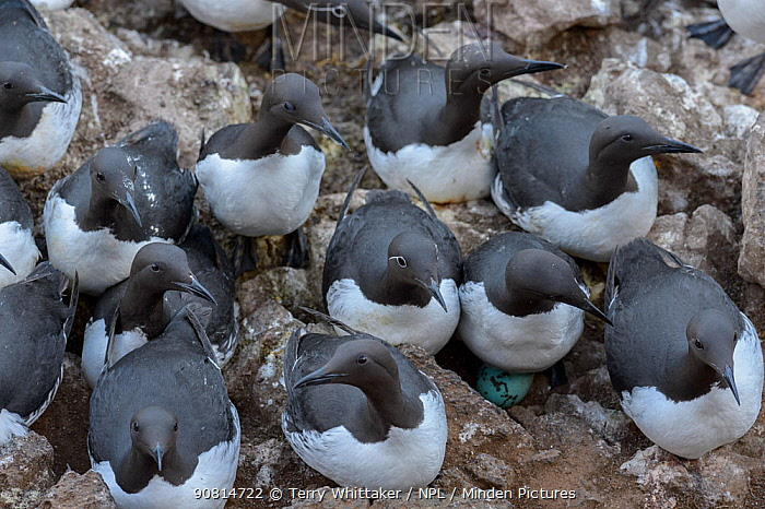 Common murre or common guillemot (Uria aalge). Langanes peninsula, northeast Iceland. May.