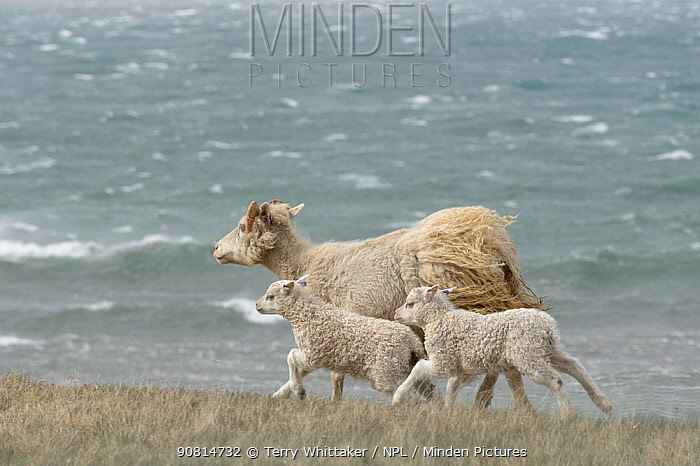 Ewe with lambs along coast of Langanes peninsula, northeast Iceland. May.