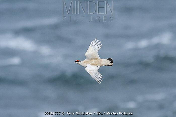 Ptarmigan (Lagopus muta) male in flight Langanes peninsula, northeast Iceland. May.