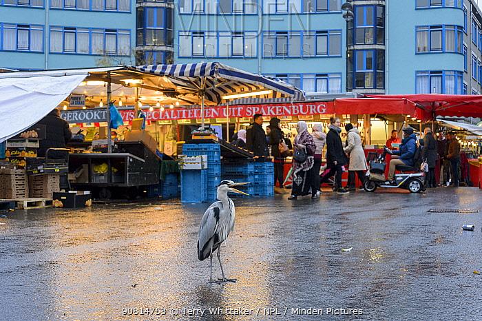 Grey Heron ( Ardea cinerea) at fish market waiting to scavenge scraps of food. Amsterdam, Netherlands. April 2017.