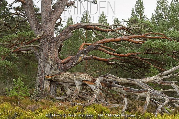 Scots Pine (Pinus sylvestris), ancient tree with large fallen branch, Cairngorms National Park, Scotland, UK, October.