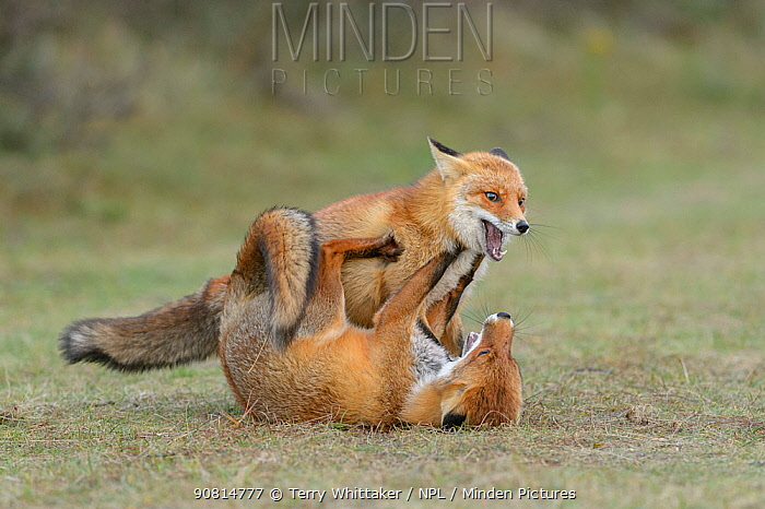 Red foxes (Vulpes vulpes) play fighting in sand dunes. Netherlands. November.