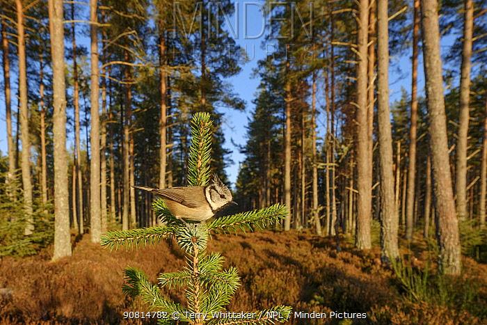 Crested tit (Lophophanes cristatus) perched, Black Isle, Scotland. February
