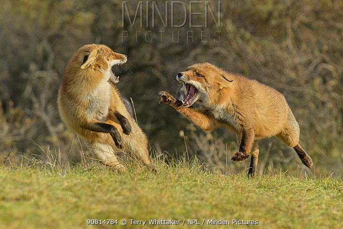 Red foxes (Vulpes vulpes) fighting in sand dune habitat, Holland, Netherlands. November.