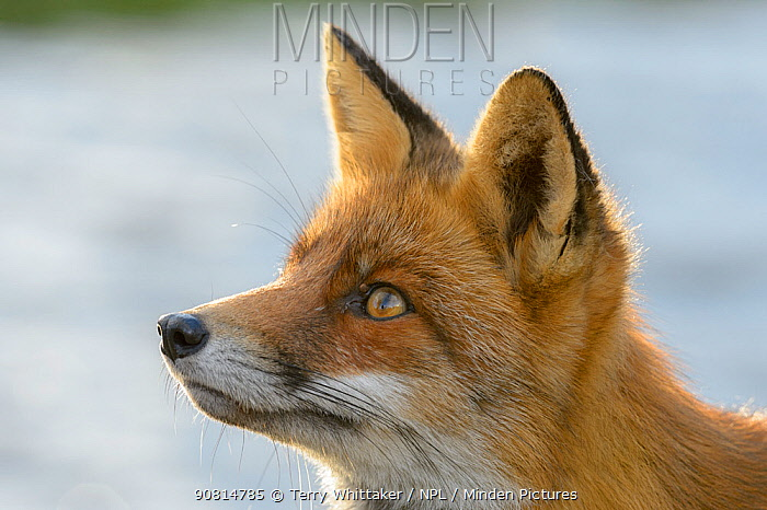 Red fox (Vulpes vulpes), on coast, portrait. Netherlands. November.