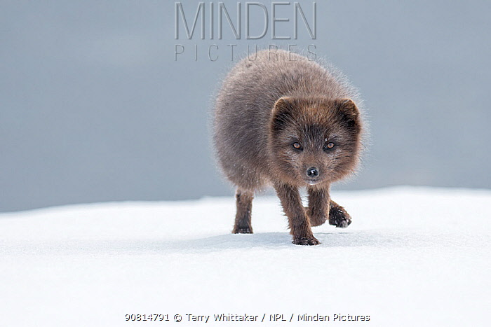 Arctic fox (Vulpes lagopus). Blue colour morph. Hornstrandir Nature Reserve, Iceland. March