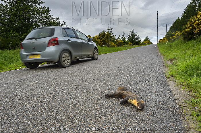 Pine marten (Martes martes), adult male killed on road. Black Isle, Scotland, UK. June 2017.