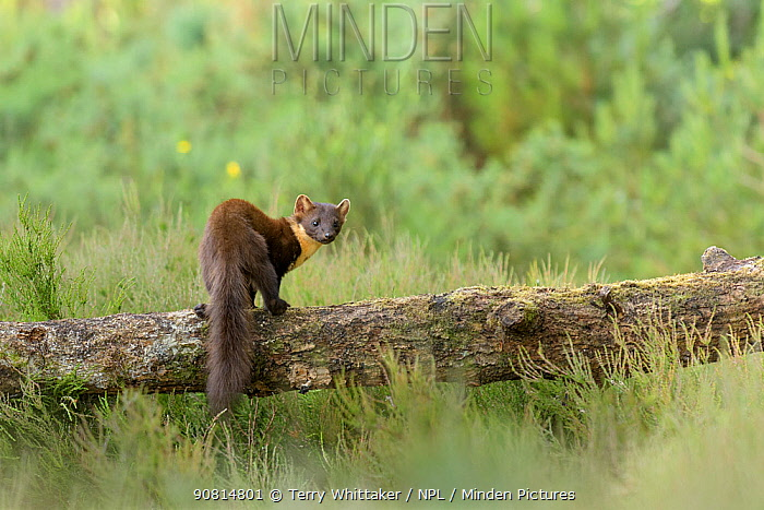 Pine marten (Martes martes) adult female, Black Isle, Scotland, UK. June.