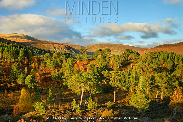 Birch (Betula pendula) and Scots Pine (Pinus sylvestris) forest around Loch Beinn a' Mheadhoin , Glen Affric, Highlands, Scotland. October 2017