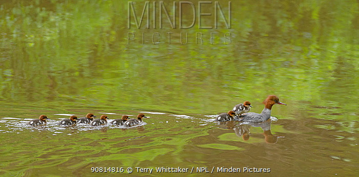 Goosander (Mergus merganser) female swimming with chicks following, Reddish Vale Country park, Greater Manchester, UK. May 2014