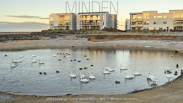 Whooper swans (Cygnus cygnus) on a man-made lake next to an apartment complex. Gardabaer, Reykjavik, Iceland.