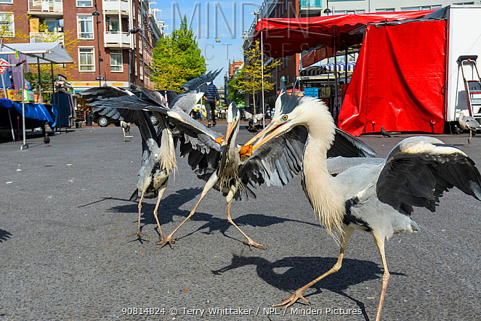 Grey Herons ( Ardea cinerea) congregating around the fish stalls as city markets are closing, picking up scraps of food. Amsterdam, Netherlands. April.