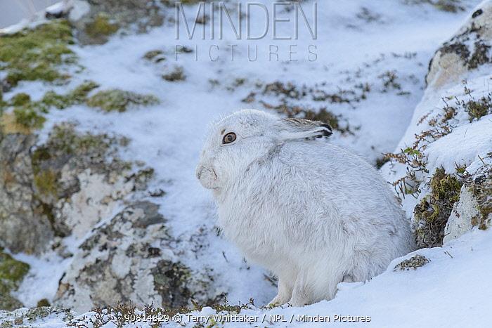 Mountain hare (Lepus timidus) in winter coat, Cairngorms, Scotland, UK, February.